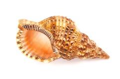 大贝壳在白色背景的加勒比氚核 免版税库存照片