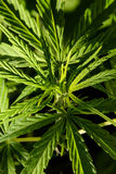 大麻大麻叶子厂细节 库存照片