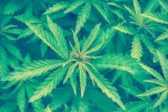 大麻大麻叶子特写镜头背景 免版税库存图片