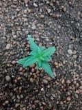 大麻大麻成长在土壤混合的幼木阶段 免版税库存照片
