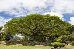 大猴子豆荚结构树 免版税库存图片