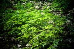 大麻庄稼 免版税图库摄影