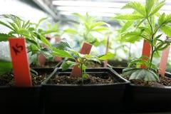 大麻庄稼 免版税库存图片
