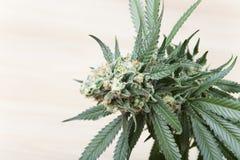 大麻绽放 库存图片