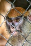 大主教Patas猴子面孔 库存图片