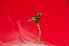 大麻新芽Afgani与前两片叶子的大麻张力 免版税图库摄影