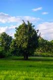 大结构树和米域 免版税库存图片