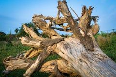 大结构树根 库存图片