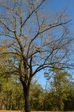 大结构树 免版税图库摄影