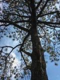 大结构树 图库摄影
