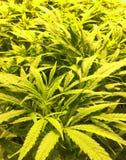 大麻植物在科罗拉多 库存照片