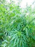 大麻植物灌木  库存图片