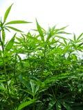大麻植物灌木  免版税图库摄影