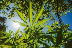 大麻植物 库存图片