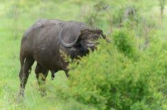 大水牛城公牛在克鲁格公园 库存图片