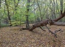 大死的下落的分支在森林里 免版税库存图片