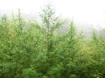 大麻种植园 免版税库存图片
