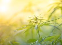 大麻种植年轻人 库存照片