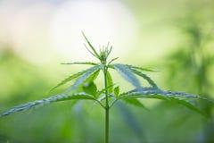 大麻种植年轻人 库存图片