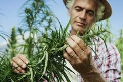 大麻种田 免版税库存照片