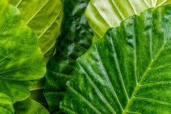 大绿色叶子湿与雨珠 免版税图库摄影