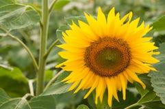 大黄色向日葵 库存照片