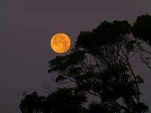 大黄色月亮上升和树 免版税库存照片