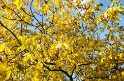 大黄色树,季节性自然场面 免版税库存图片