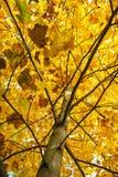 大黄色树,秋天场面,五颜六色的11月,垂直的混合涂料 图库摄影