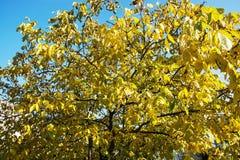 大黄色树,秋天场面 免版税库存图片