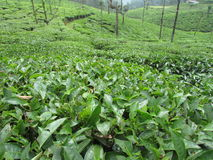大绿色灌木 库存照片