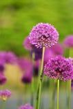 大紫色葱属花 库存照片