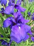 大紫色虹膜花在6月 库存图片