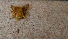 大黄色蜂 库存图片
