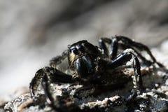 大黑色蜘蛛 库存照片