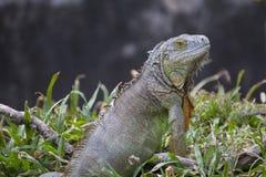 大绿色鬣鳞蜥 免版税库存图片