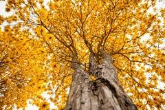大黄色结构树 免版税库存照片