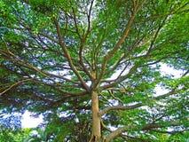 大绿色结构树 免版税库存照片