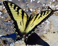 大黄色黑脉金斑蝶 库存图片