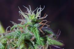 大麻花 免版税库存照片