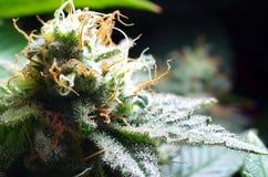 大麻花 图库摄影