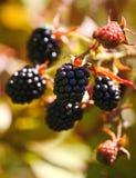 大黑莓果庭院黑莓,生长在绿色叶子背景的一把刷子在灌木的分支的 库存照片