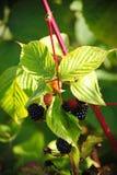 大黑莓果庭院黑莓,生长在绿色叶子背景的一把刷子在灌木的分支的 图库摄影