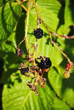 大黑莓果庭院黑莓,生长在绿色叶子背景的一把刷子在灌木的分支的 免版税库存照片