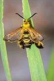 大黄蜂飞蛾Sesia apiformis的图象女性在绿色叶子 库存照片