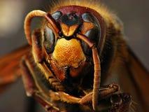 大黄蜂 库存照片