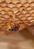 01大黄蜂 库存图片