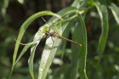 大蜻蜓 库存图片