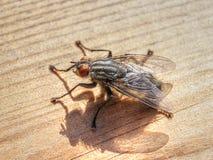 大麻蝇(Sarcophaginae) 免版税库存图片