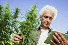 大麻领域的农夫使用片剂 免版税库存图片